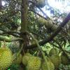 Pohon durian bawor usia 4 tahun berbuah lebat
