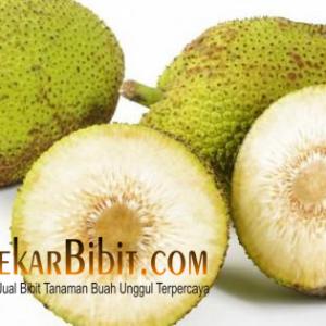 Bibit Sukun