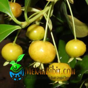 Bibit Yellow Pitomba